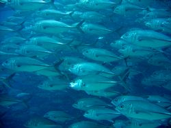 School of Jacks, Bohol, Philippines. Taken with Canon A95. by Katie Dann 